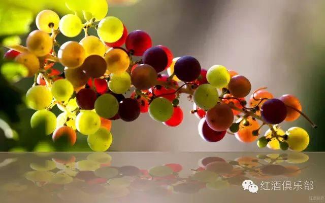 波尔多的红白葡萄品种