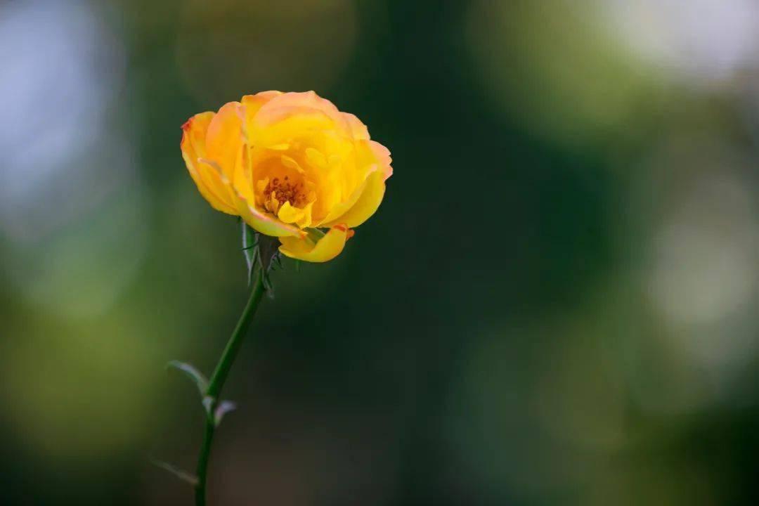 轻音乐《玫瑰花园》轻柔美乐,清新惬意