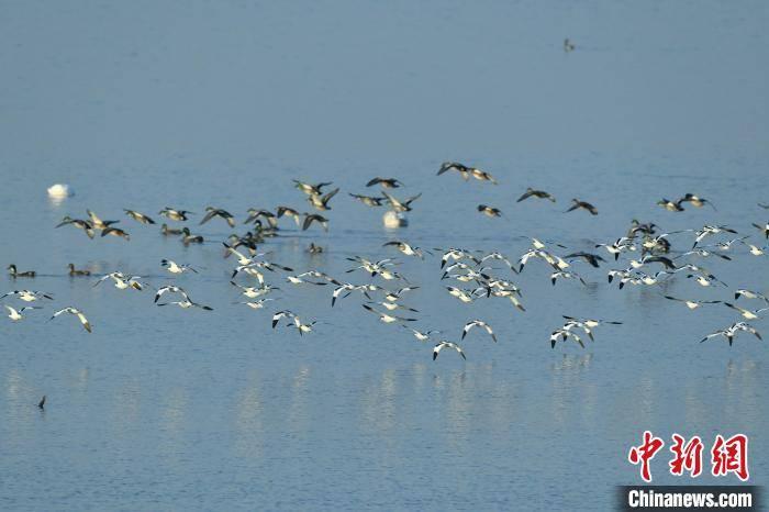 大量候鸟飞抵江西进贤马咀湖栖息、觅食