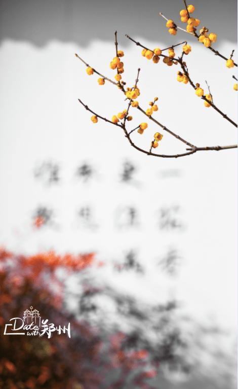 天顺直属:Date with 郑州|腊梅上线!寻香看这里→_梅花