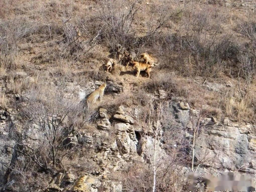 奇!山西一只金钱豹遭狗群围攻!护林员报警请警察解救  第2张