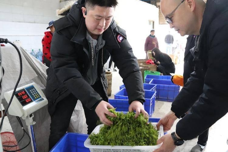 新春走基层|永川秀芽核心产区花果山茶农采茶忙