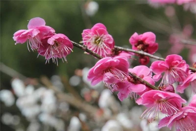 春日赏花,一定不要错过张家界