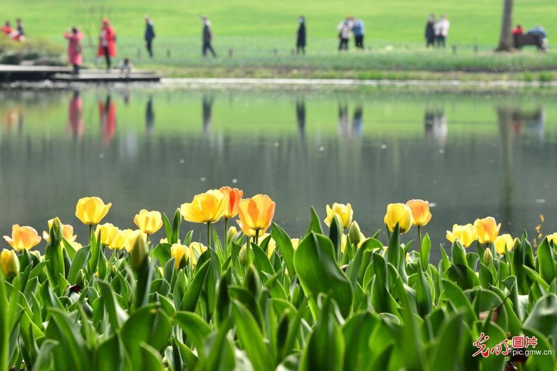 中国东部浙江杭州公园的郁金香风景