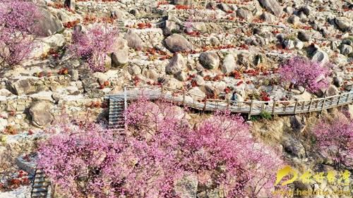 漳州港樱花烂漫迎春来