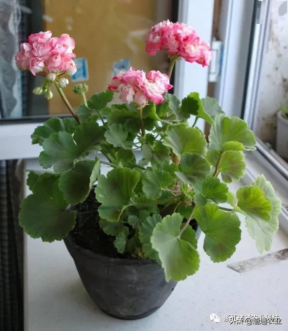 梦见好几盆开花的花 梦见给花换个大花盆