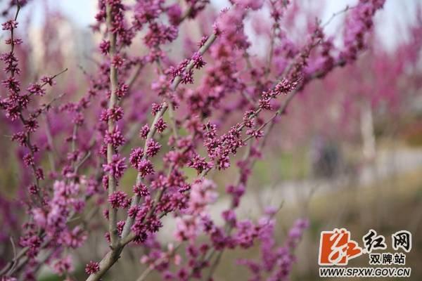 双牌县桐子坳景区紫荆绽放迎春来
