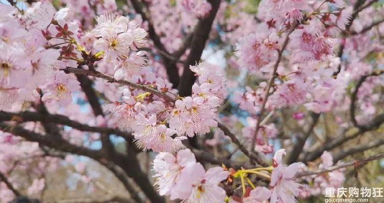 花开了,鸟叫了,公园更挤了...重庆的春天来了!