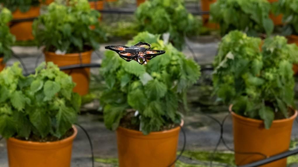 不用农药!荷兰大棚用掌上无人机精准绞碎害虫,而不误伤益虫