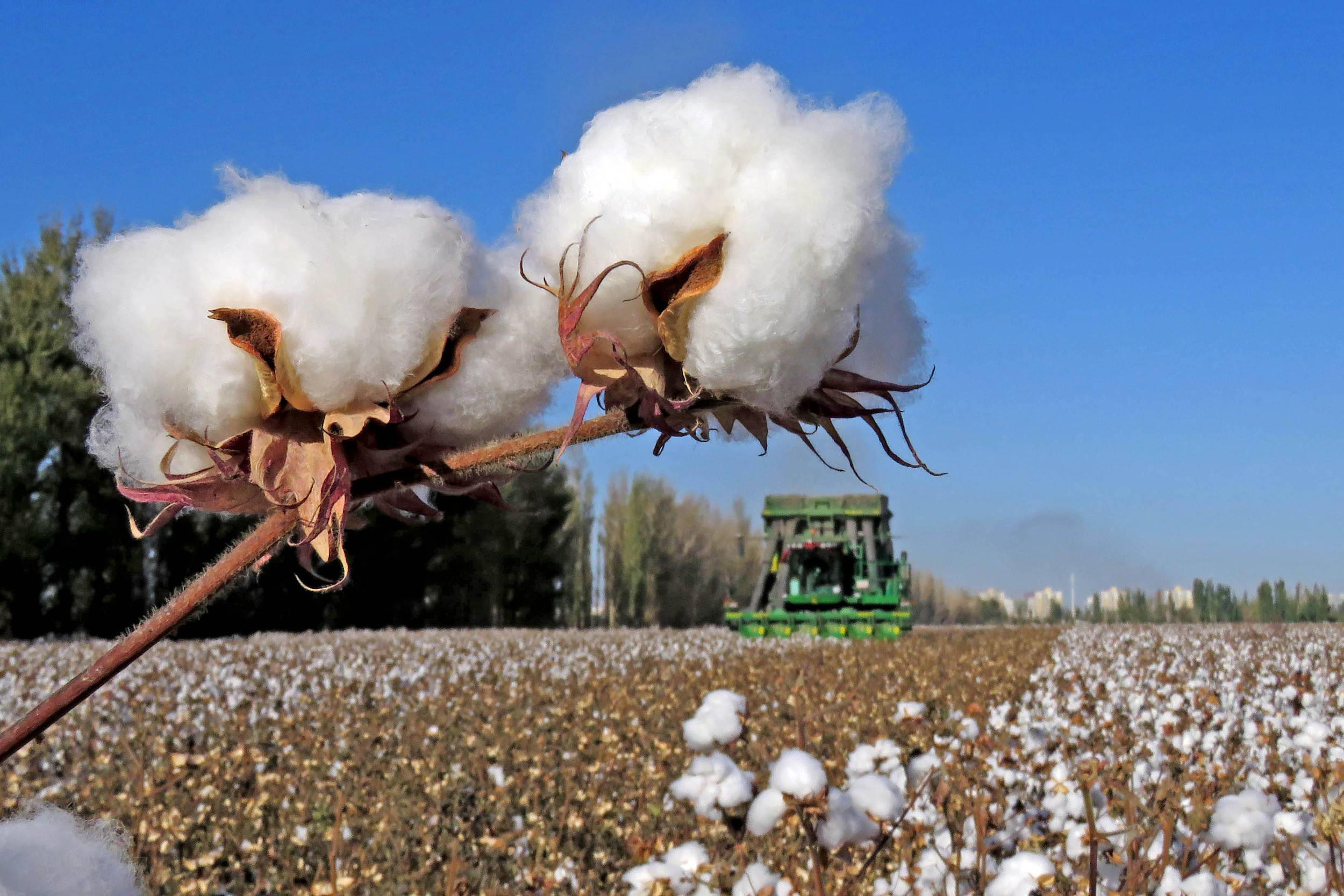 中国棉花协会:欢迎全球产业链赴疆考察_新疆