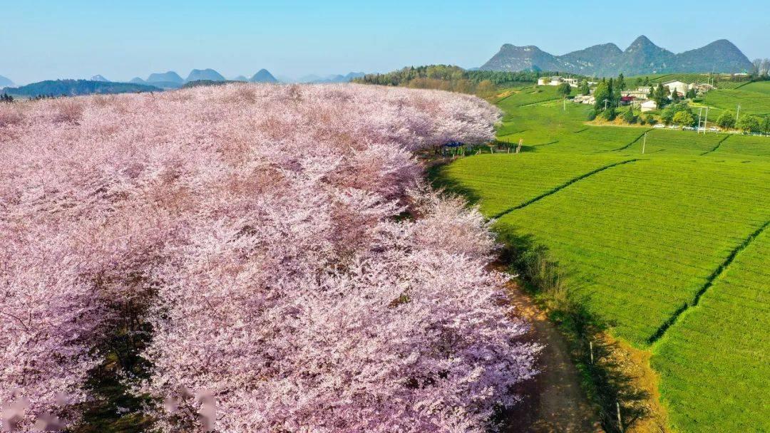 美过日本,不输武汉,全球最大的樱花基地竟在中国,还免费! (图10)