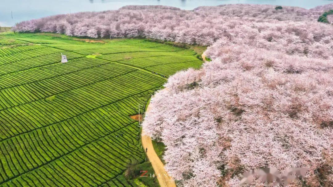 美过日本,不输武汉,全球最大的樱花基地竟在中国,还免费! (图17)