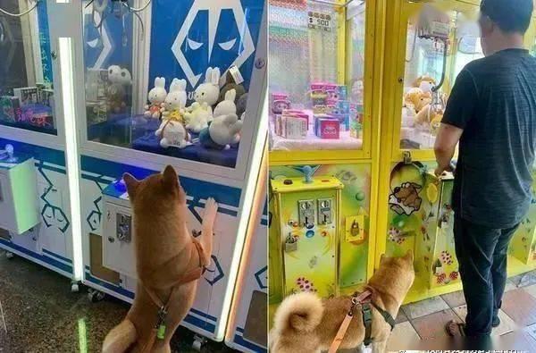 带柴犬到娃娃机店里夹娃娃,没想到它竟会这样做......