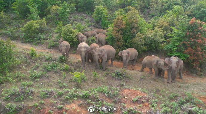 """17头""""北漂""""亚洲象从普洱进入玉溪,未对群众生命安全造成影响"""