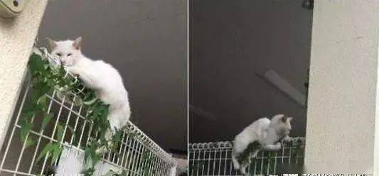 白猫跨越栅栏到一半卡住,本来想去救驾,结果走近一看笑喷!