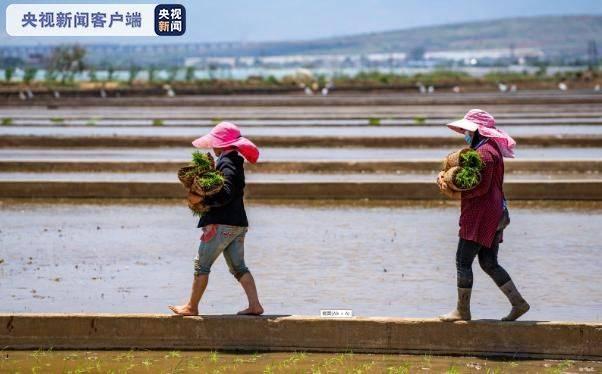 袁隆平超级杂交水稻移栽 冲击世界新纪录