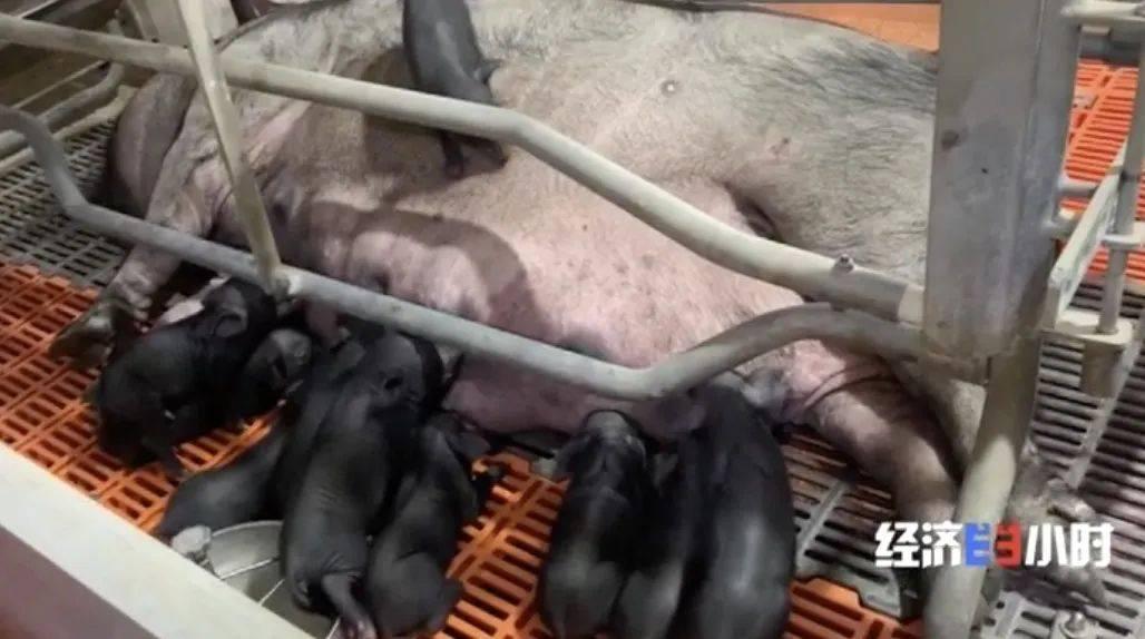 """8个品种本土种猪灭绝!我们餐桌多为""""外来猪""""?!本土""""二师兄""""去哪了?  第22张"""