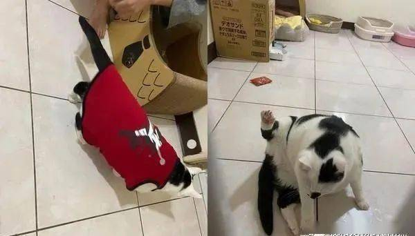 猫咪趴在地上伸展身体开出一只掌花,照片放大亮了!