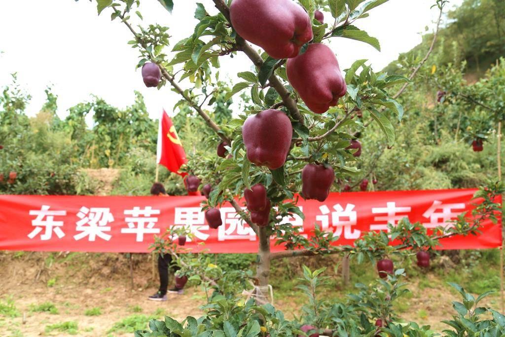 武山县东梁山苹果红了 我们丰收了