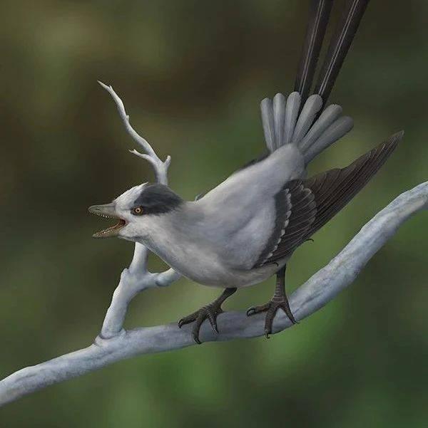 性选择影响鸟类尾羽的演化研究取得进展