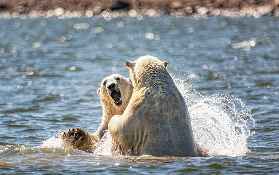 加拿大北极熊嬉戏玩闹互打水仗